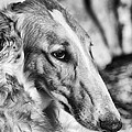 borzoi dog portrait Poster by Christian Lagereek