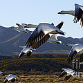 Bosque Del Apache Snow Geese In Flight Poster by Bob Christopher