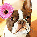 Boston Terrier Art - The Blushing Bride Poster by Sharon Cummings