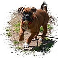 Boxer Puppy 14-1 by Maria Urso