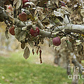 Branch of an Apple Tree Print by Juli Scalzi