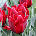 Brilliant Red Tulips in the Garden Print by Jennie Marie Schell