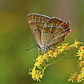 Brown hairstreak butterfly Print by Science Photo Library