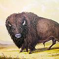 Bull Buffalo Poster by George Catlin