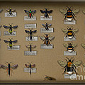 Bumblebees - wild bees - wesps - yellow jackets - ichneumon flies - apiformes vespulas hymenopteras  Poster by Urft Valley Art