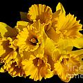 Bunch of Daffodils Poster by JM Braat Photography