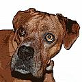 Buster Brown the Boxer Print by Sandra Clark