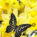 Butterfly among the daffodils Print by Edward Fielding