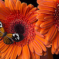 Butterfly on orange mums Print by Garry Gay