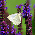 Cabbage White Butterfly Print by Christina Rollo
