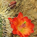 Cactus Flower Bright Poster by Feva  Fotos