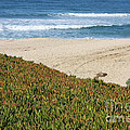 California Beach with Ice Plant Print by Carol Groenen