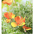 California Poppies Print by Artist and Photographer Laura Wrede