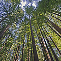 California Redwood Forest Print by Brendan Reals