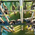 California Sealions Under the Santa Cruz Pier Print by Artist and Photographer Laura Wrede