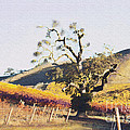 California Vineyard Series Oaks in the Vineyard Poster by Artist and Photographer Laura Wrede
