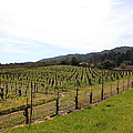 California Vineyards In Late Winter Just Before The Bloom 5D22114 Print by Wingsdomain Art and Photography