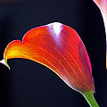 Calla Colors and Curves Print by Rona Black