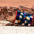 Camel Sitting Tinherir Morocco Poster by Ralph A  Ledergerber-Photography