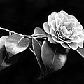 Camellia Flower in Black and White Print by Jennie Marie Schell