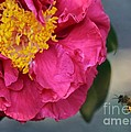 Camellia with Bee Print by Carol Groenen