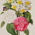 Camellias Narcissus and Pansies Print by Pierre Joseph Redoute