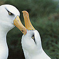 Campbell Albatrosses Courting Campbell Print by Tui De Roy