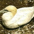 Canada Gannet - Bird Illustration Print by Peter Fine Art Gallery  - Paintings Photos Digital Art