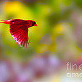 Cardinal in flight Print by Dan Friend