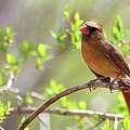 Cardinal In Spring Print by Sandi OReilly