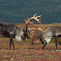 Caribou Males Sparring Poster by Matthias Breiter
