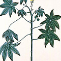 Castor Oil Plant Print by Indian School