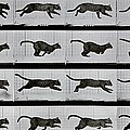 Cat running Print by Eadweard Muybridge