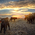 Cattle Sunset 2 Poster by Thomas Zimmerman