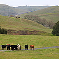 Cattles at Fernandez Ranch California - 5D21062 Poster by Wingsdomain Art and Photography