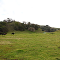 Cattles at Fernandez Ranch California - 5D21124 Poster by Wingsdomain Art and Photography