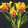 Cattleya Orchid Poster by Richard Harpum