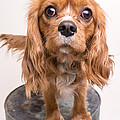 Cavalier King Charles Spaniel Puppy Print by Edward Fielding