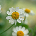 Chamomile Poster by Kathy Yates