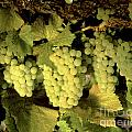 Chardonnay Wine Clusters Print by Craig Lovell