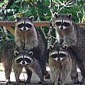 Cheerleading Raccoons Print by Kym Backland