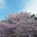 Cherry Blossoms 2013 - 070 Poster by Metro DC Photography