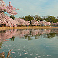 Cherry Blossoms 2013 - 083 Print by Metro DC Photography