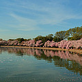 Cherry Blossoms 2013 - 087 Print by Metro DC Photography