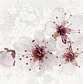 Cherry blossoms close up Print by Elena Elisseeva