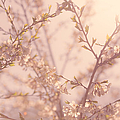 Cherry Blossoms Print by Diane Diederich