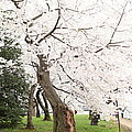 Cherry Blossoms - Washington DC - 0113135 Poster by DC Photographer