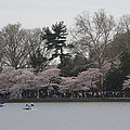 Cherry Blossoms - Washington DC - 011317 Poster by DC Photographer