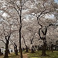 Cherry Blossoms - Washington DC - 011378 Print by DC Photographer