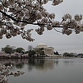 Cherry Blossoms with Jefferson Memorial - Washington DC - 011343 Poster by DC Photographer
